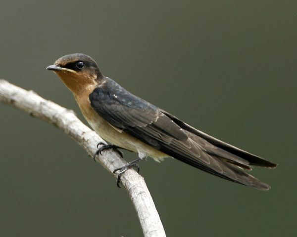 Pacific swallow, perching on branch. Photo: Lip Kee | Flickr. | Miles O'Brien Productions