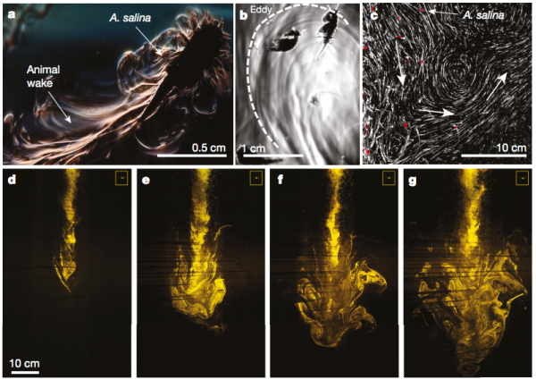 Images (a) and (b) show the wake behind individual zooplankton, while (c) through (g) show large-scale eddies. Credit: Dabiri Lab | Nature. | Miles O'Brien Productions
