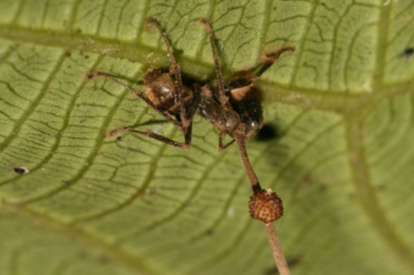 An ant biting a leaf and dying. The spore stalk can be seen growing from its head. Credit: David P. Hughes, Maj-Britt Pontoppidan.   Miles O'Brien Productions