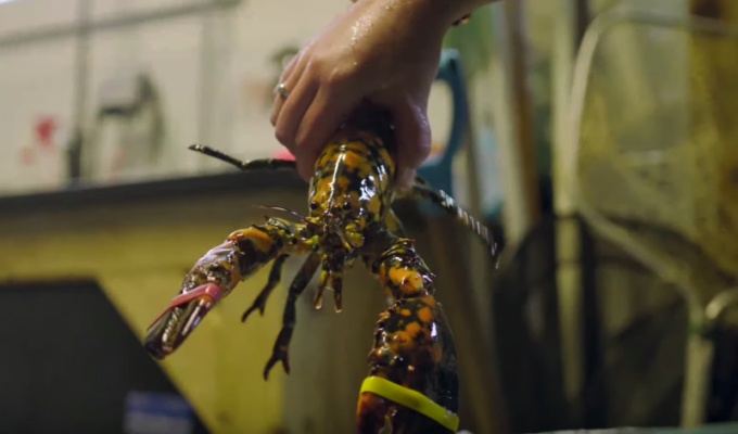 What rising temperatures in the Gulf of Maine mean for the state's lobster industry | Miles O'Brien Productions